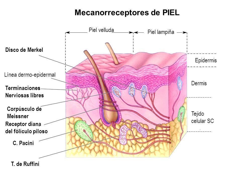 Mecanorreceptores de PIEL