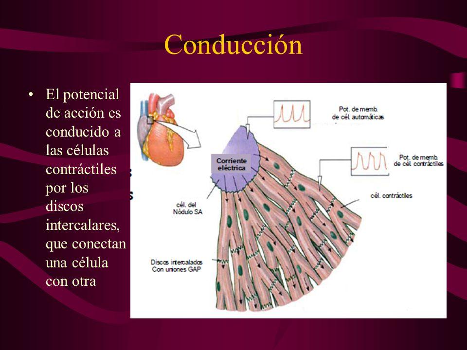 ConducciónEl potencial de acción es conducido a las células contráctiles por los discos intercalares, que conectan una célula con otra.