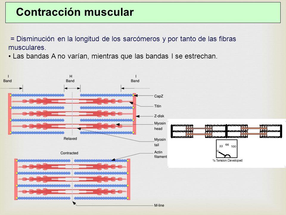Contracción muscular = Disminución en la longitud de los sarcómeros y por tanto de las fibras musculares.