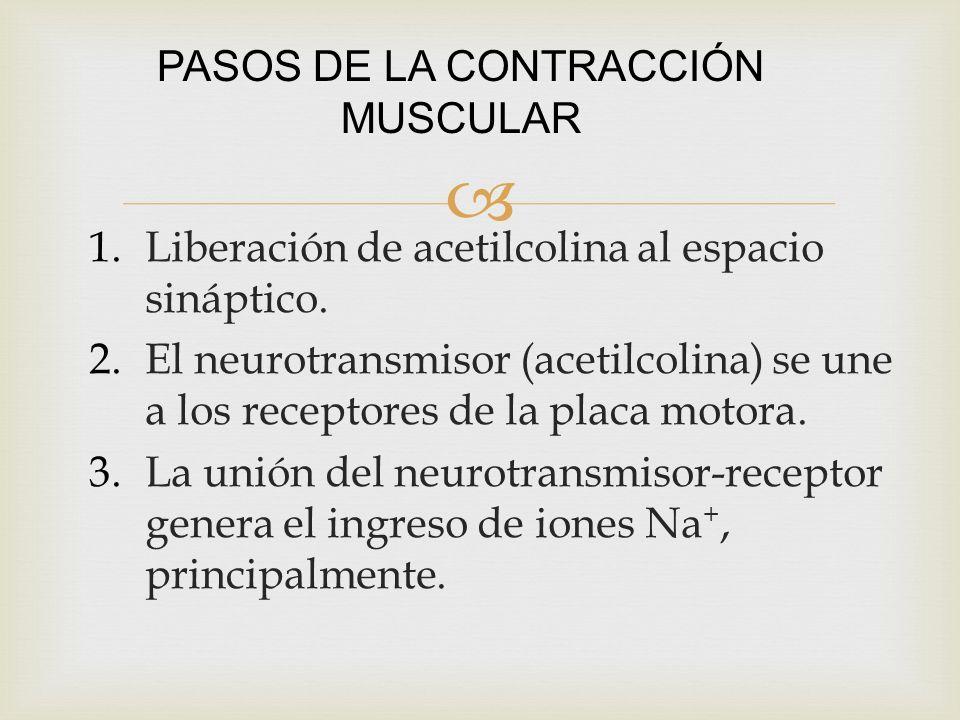 PASOS DE LA CONTRACCIÓN MUSCULAR