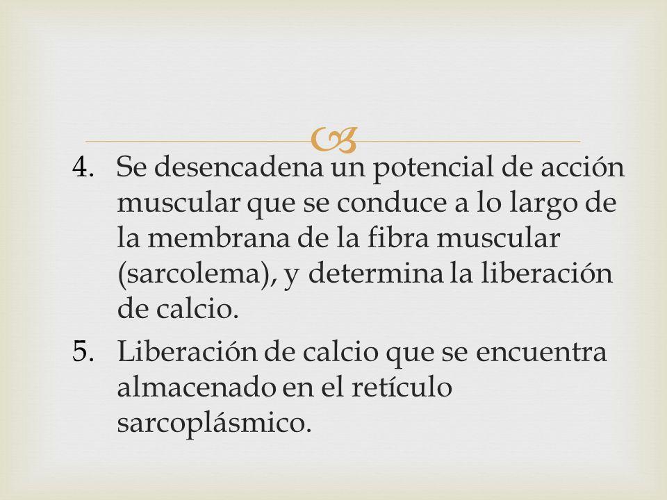 Se desencadena un potencial de acción muscular que se conduce a lo largo de la membrana de la fibra muscular (sarcolema), y determina la liberación de calcio.