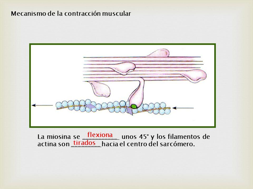 Mecanismo de la contracción muscular
