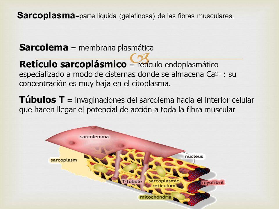 Sarcoplasma=parte liquida (gelatinosa) de las fibras musculares.