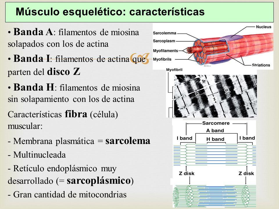 Músculo esquelético: características