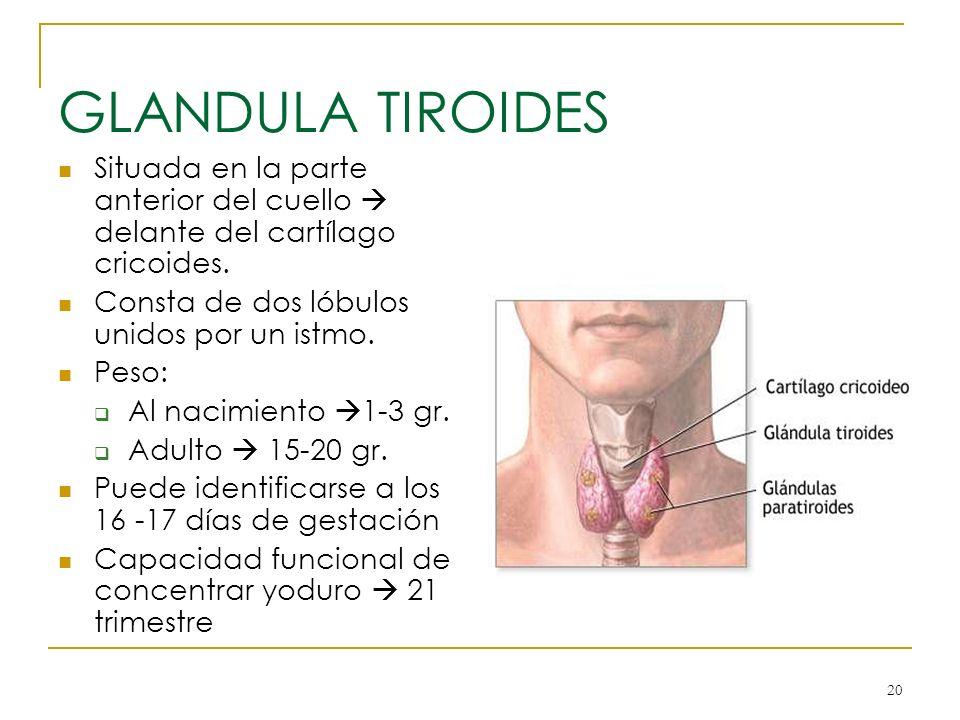 GLANDULA TIROIDES Situada en la parte anterior del cuello  delante del cartílago cricoides. Consta de dos lóbulos unidos por un istmo.