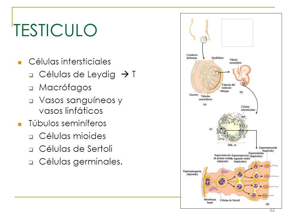 TESTICULO Células de Leydig  T Macrófagos