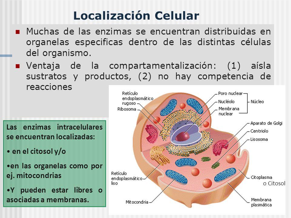 Localización Celular Muchas de las enzimas se encuentran distribuidas en organelas especificas dentro de las distintas células del organismo.