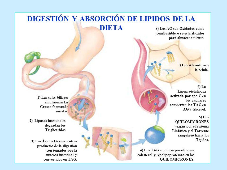 DIGESTIÓN Y ABSORCIÓN DE LIPIDOS DE LA DIETA