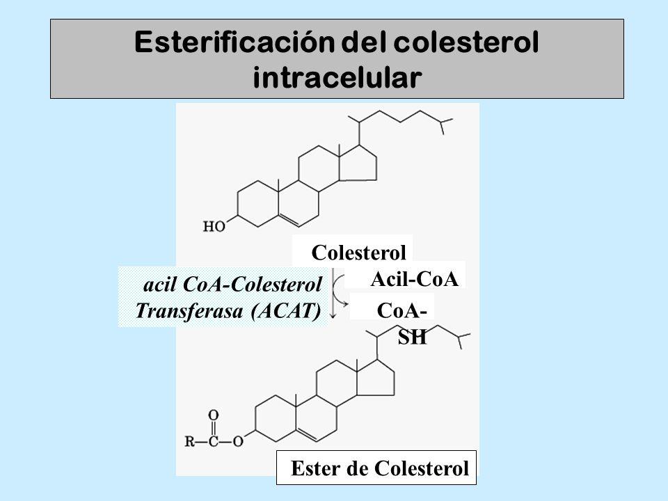 Esterificación del colesterol intracelular