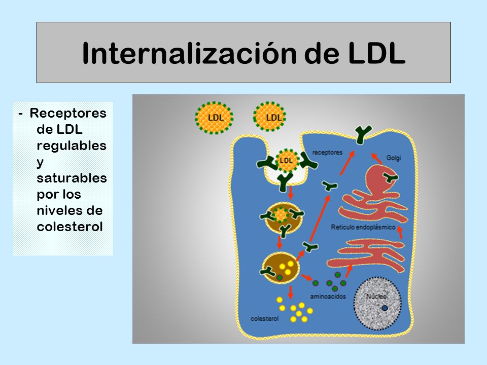 Internalización de LDL