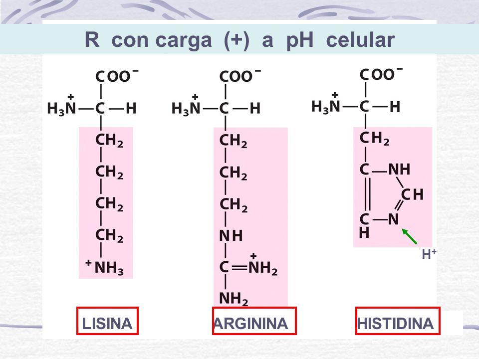 R con carga (+) a pH celular