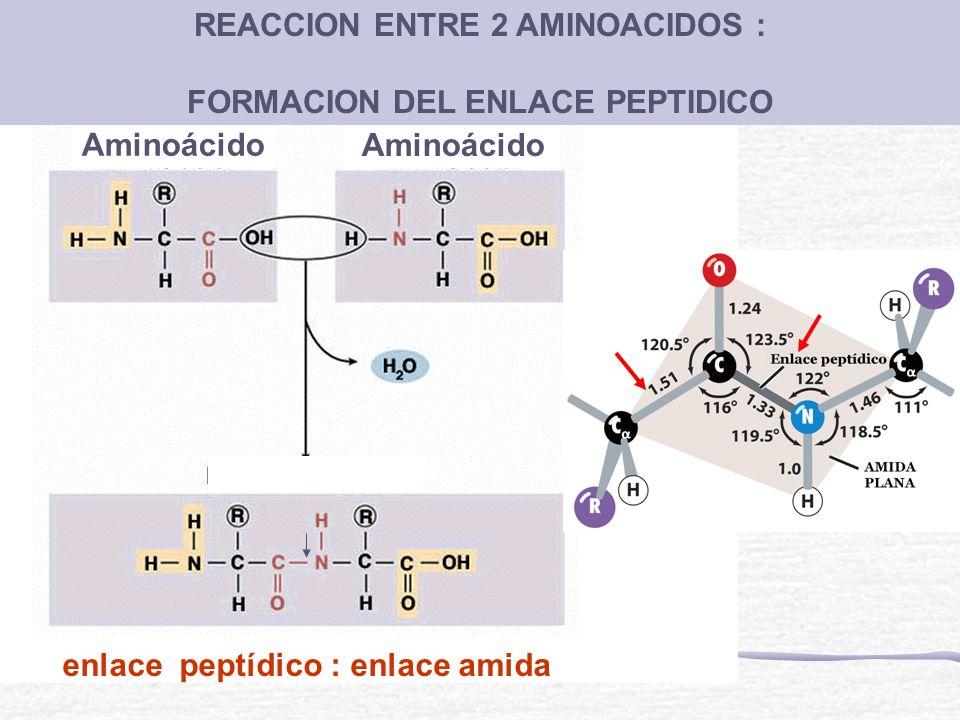 REACCION ENTRE 2 AMINOACIDOS : FORMACION DEL ENLACE PEPTIDICO