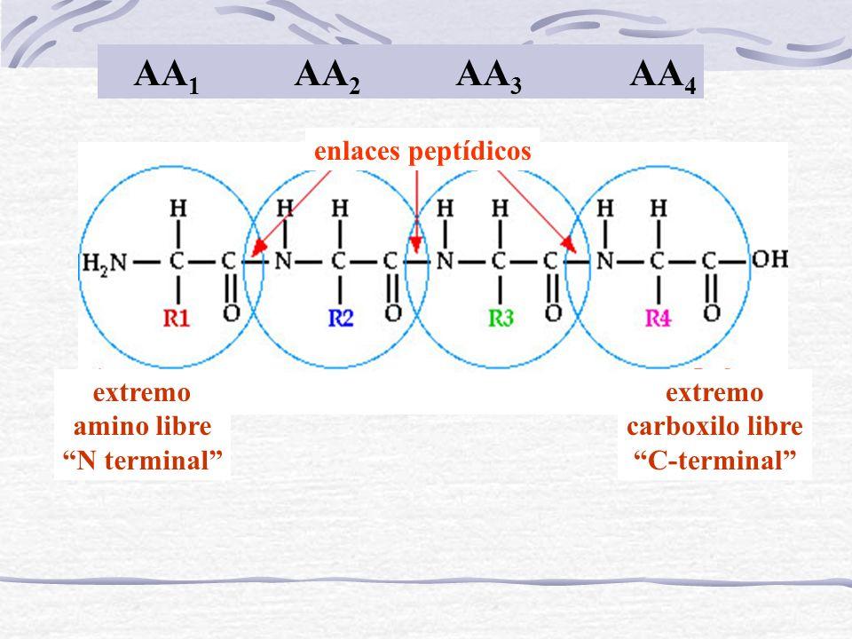 AA1 AA2 AA3 AA4 enlaces peptídicos extremo amino libre N terminal