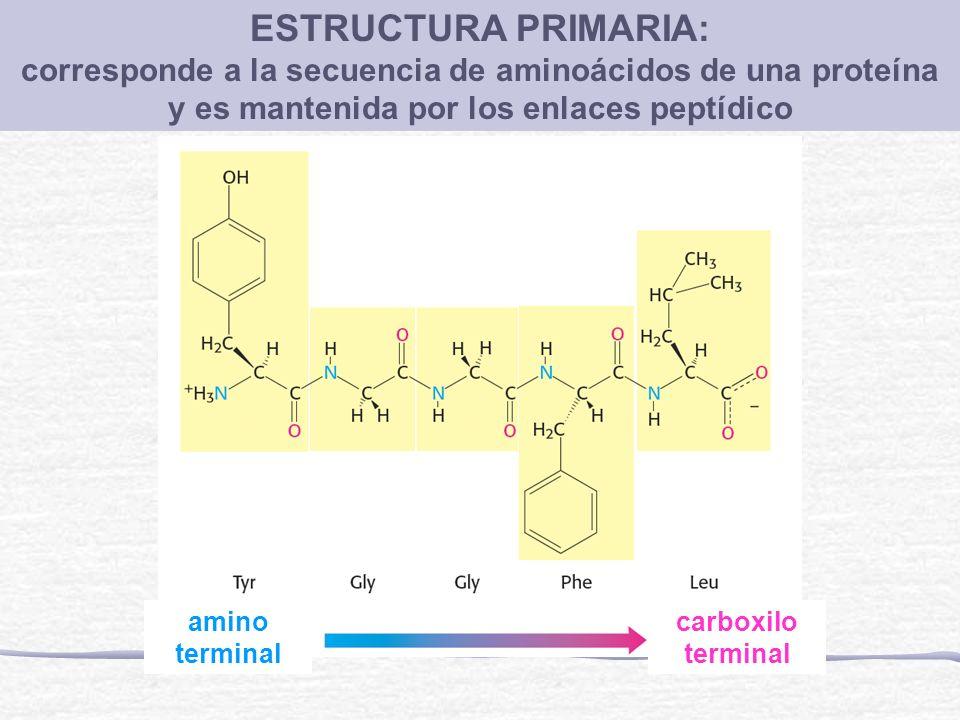 ESTRUCTURA PRIMARIA: corresponde a la secuencia de aminoácidos de una proteína. y es mantenida por los enlaces peptídico.