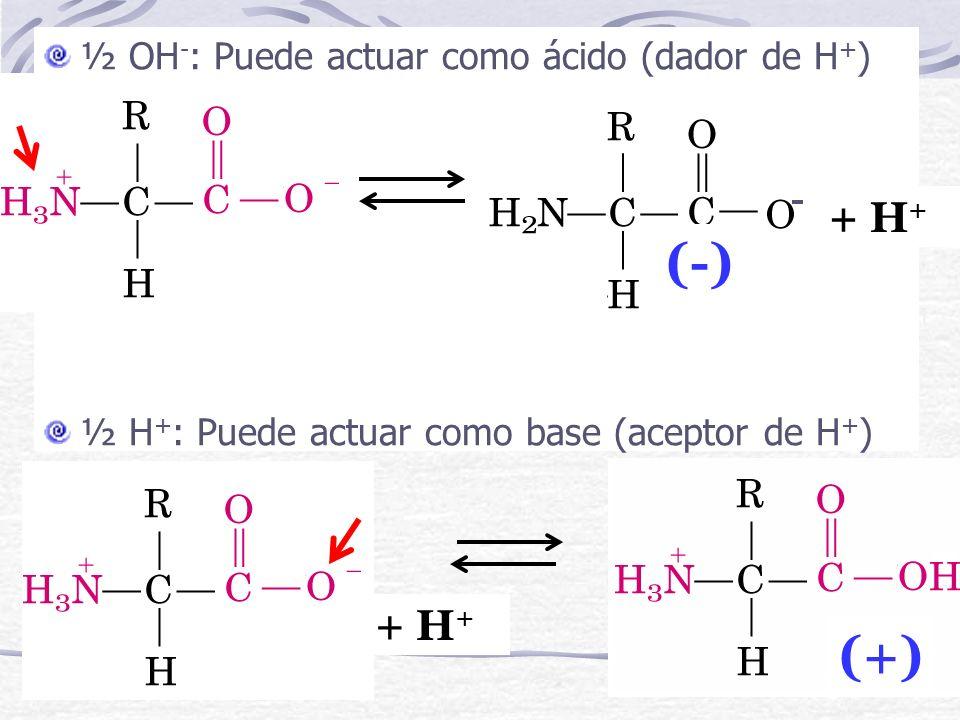 (-) (+) + H+ + H+ ½ OH-: Puede actuar como ácido (dador de H+) -