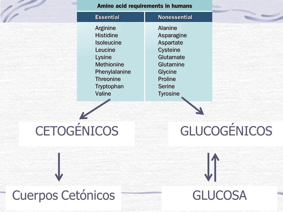 CETOGÉNICOS GLUCOGÉNICOS Cuerpos Cetónicos GLUCOSA