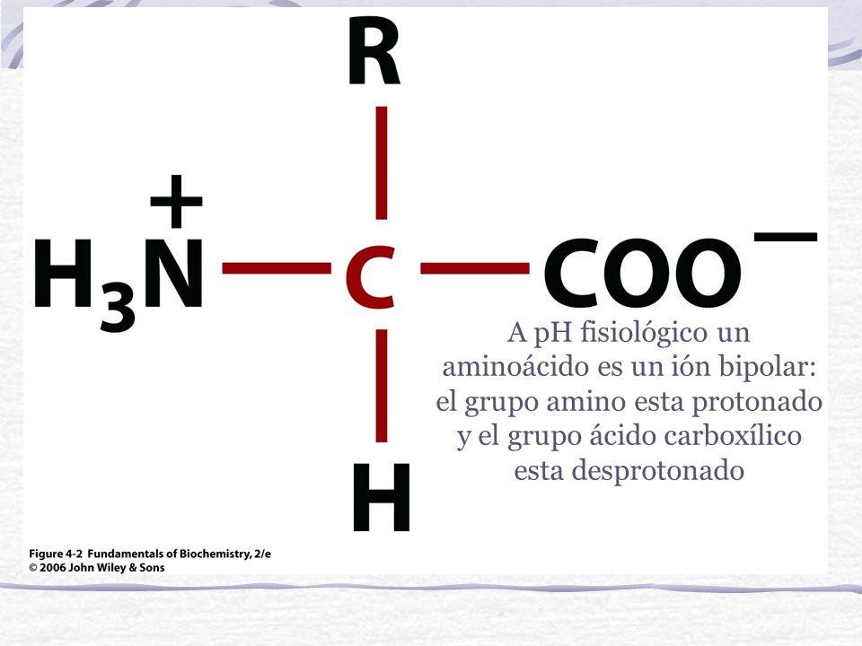 A pH fisiológico un aminoácido es un ión bipolar: el grupo amino esta protonado y el grupo ácido carboxílico esta desprotonado
