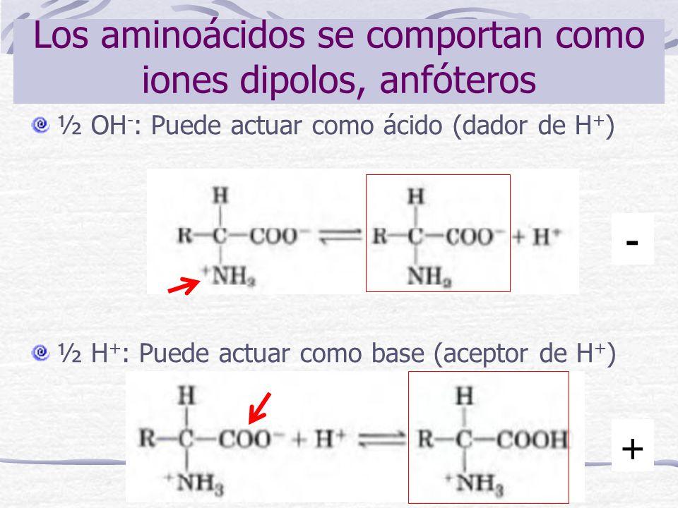Los aminoácidos se comportan como iones dipolos, anfóteros