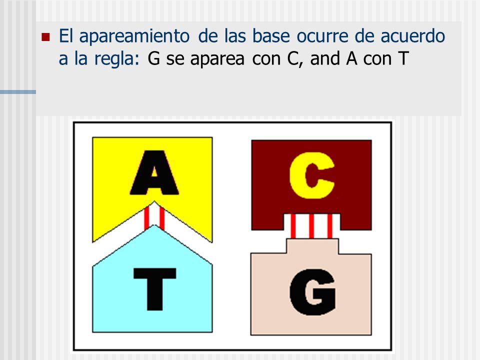 El apareamiento de las base ocurre de acuerdo a la regla: G se aparea con C, and A con T