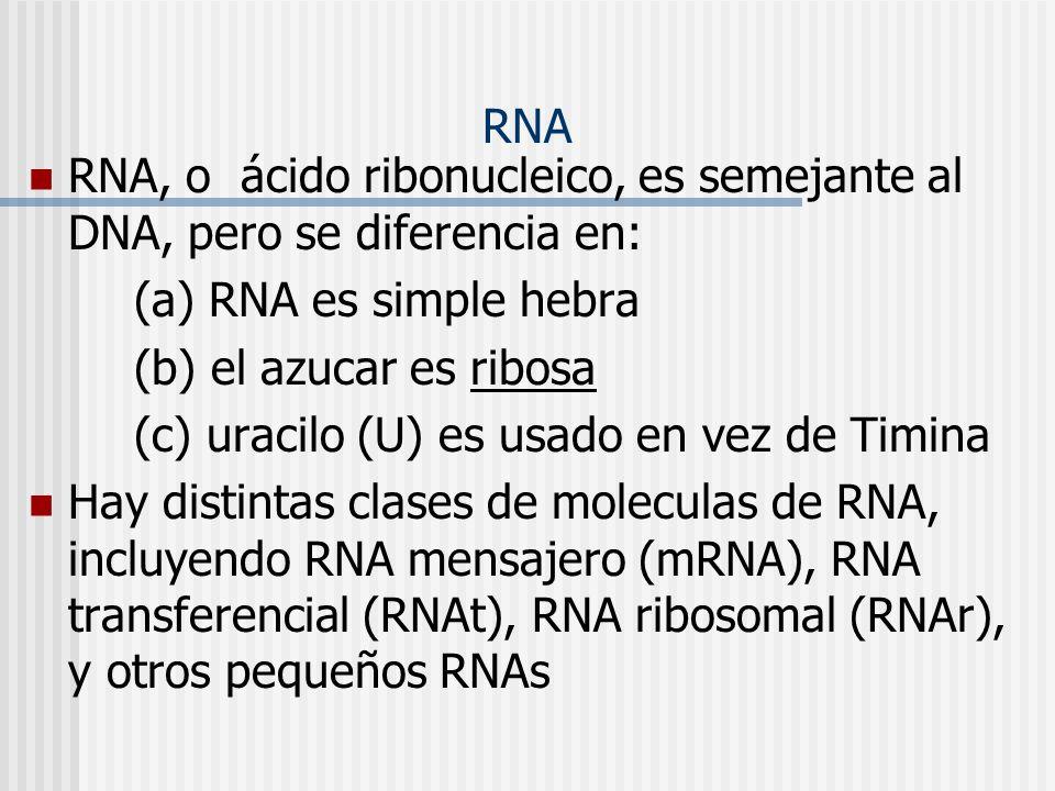 RNA RNA, o ácido ribonucleico, es semejante al DNA, pero se diferencia en: (a) RNA es simple hebra.