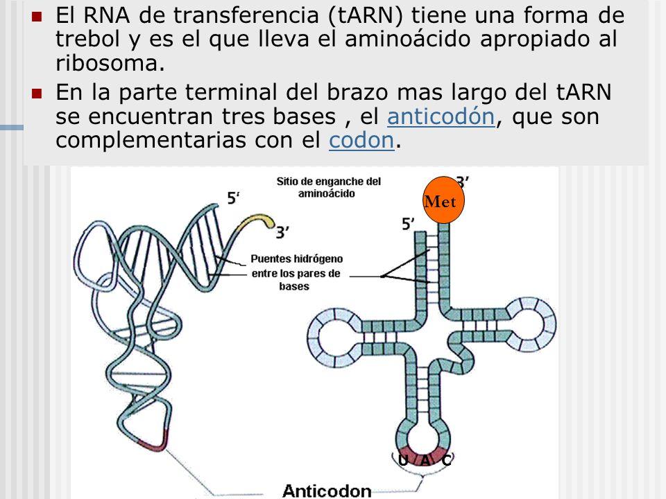 El RNA de transferencia (tARN) tiene una forma de trebol y es el que lleva el aminoácido apropiado al ribosoma.