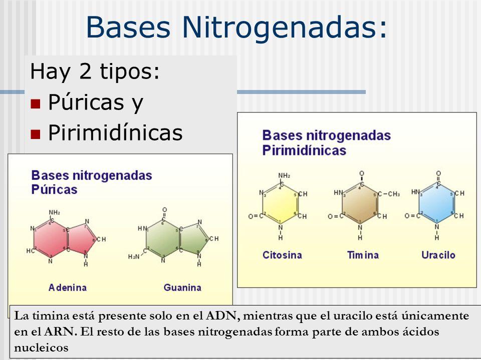 Bases Nitrogenadas: Hay 2 tipos: Púricas y Pirimidínicas