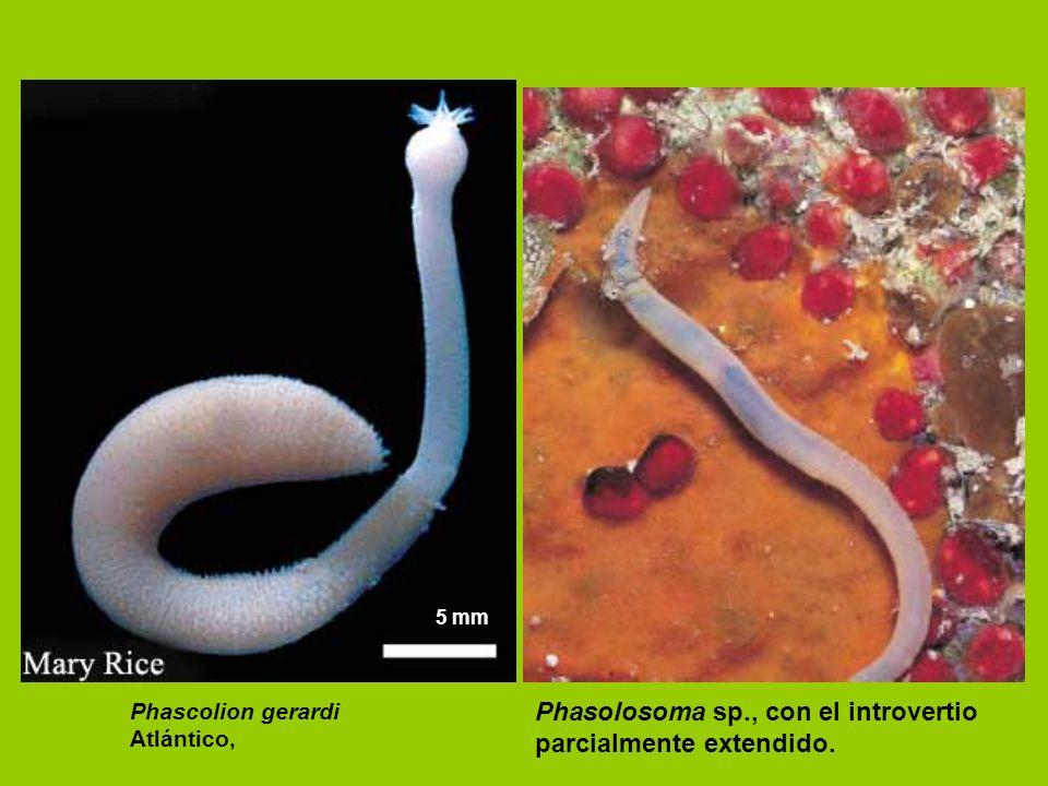 Phasolosoma sp., con el introvertio parcialmente extendido.