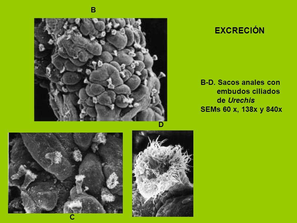 EXCRECIÓN B B-D. Sacos anales con embudos ciliados de Urechis