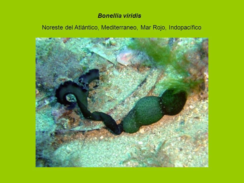 Bonellia viridis Noreste del Atlántico, Mediterraneo, Mar Rojo, Indopacífico