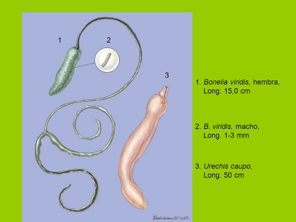 1 2. 3. 1. Bonelia viridis, hembra, Long. 15,0 cm. 2. B. viridis, macho, Long. 1-3 mm. 3. Urechis caupo,