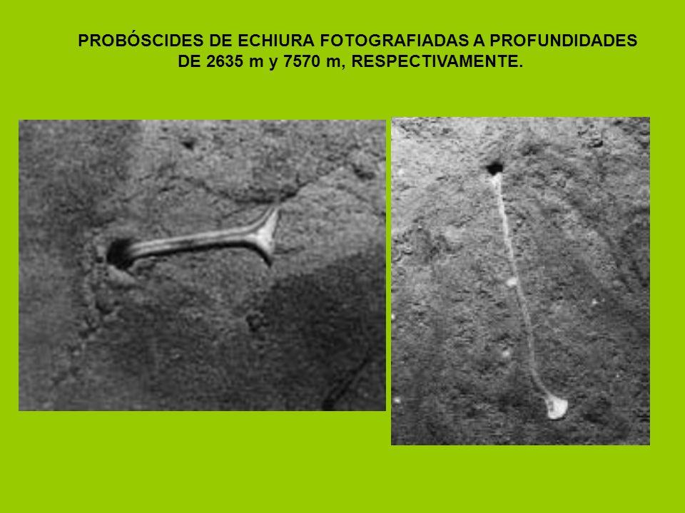 PROBÓSCIDES DE ECHIURA FOTOGRAFIADAS A PROFUNDIDADES
