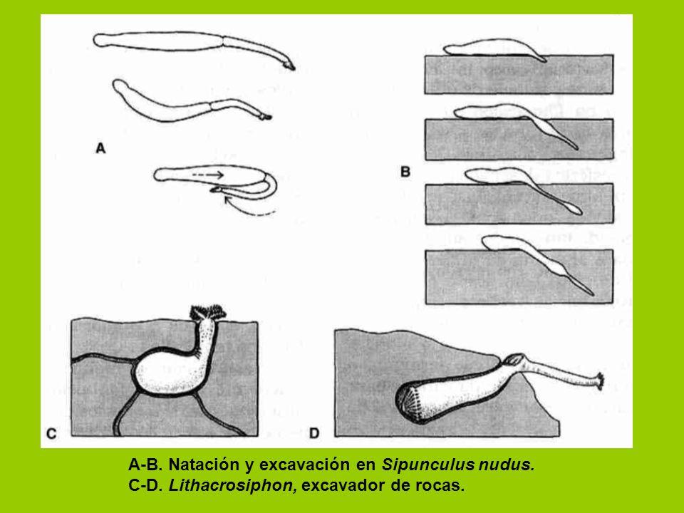 A-B. Natación y excavación en Sipunculus nudus.