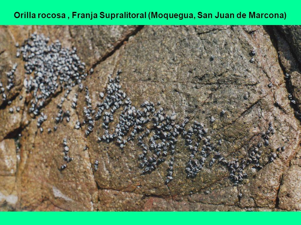Orilla rocosa , Franja Supralitoral (Moquegua, San Juan de Marcona)