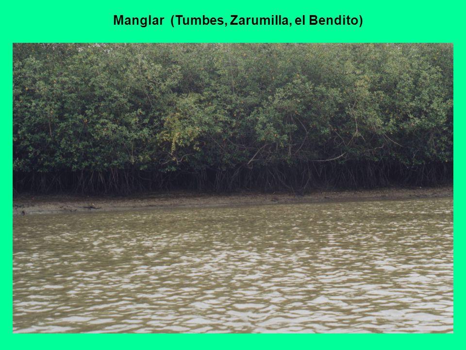 Manglar (Tumbes, Zarumilla, el Bendito)