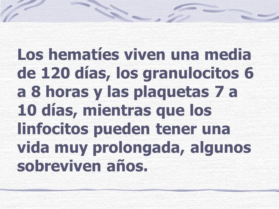 Los hematíes viven una media de 120 días, los granulocitos 6 a 8 horas y las plaquetas 7 a 10 días, mientras que los linfocitos pueden tener una vida muy prolongada, algunos sobreviven años.