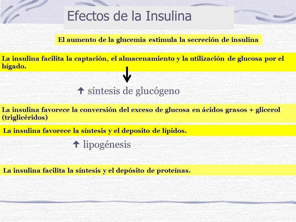 El aumento de la glucemia estimula la secreción de insulina