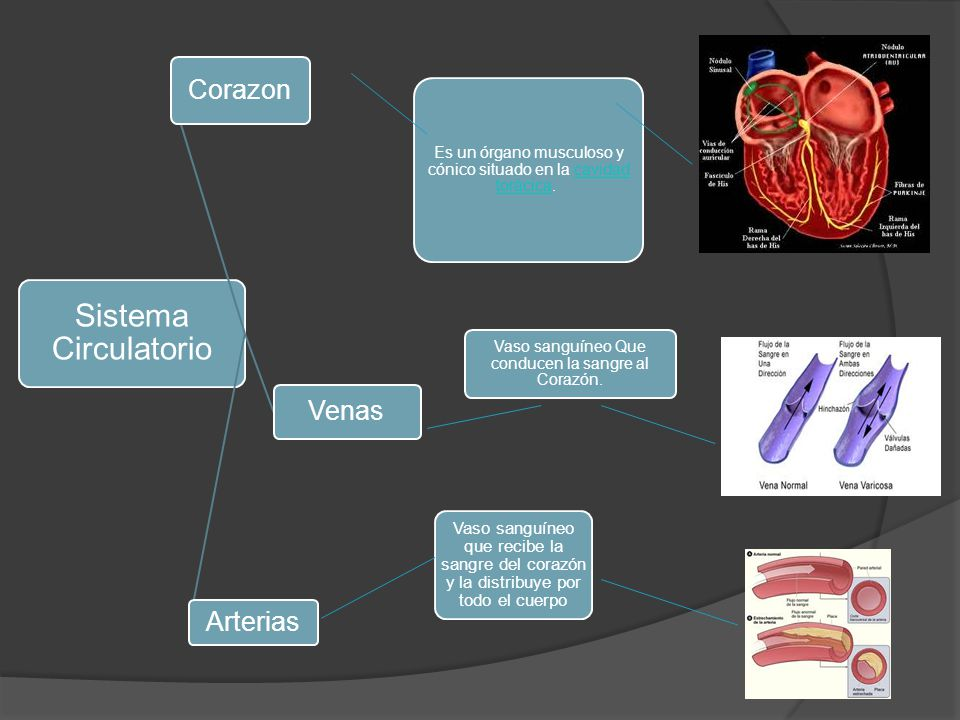Sistema Circulatorio Corazon Venas Arterias