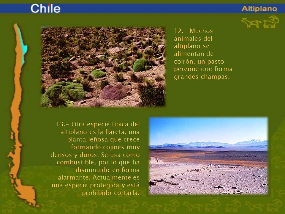 12.- Muchos animales del altiplano se alimentan de coirón, un pasto perenne que forma grandes champas.