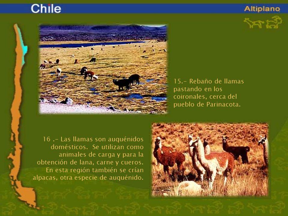 15.- Rebaño de llamas pastando en los coironales, cerca del pueblo de Parinacota.