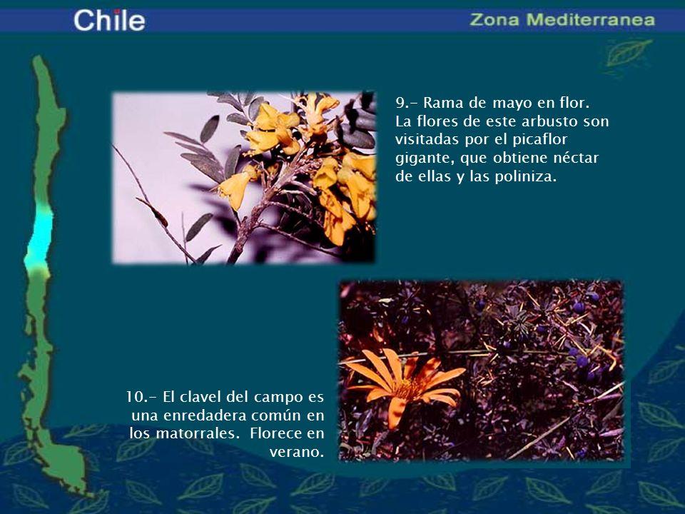 9.- Rama de mayo en flor. La flores de este arbusto son visitadas por el picaflor gigante, que obtiene néctar de ellas y las poliniza.