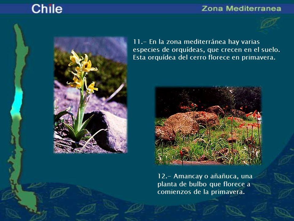 11.- En la zona mediterránea hay varias especies de orquídeas, que crecen en el suelo. Esta orquídea del cerro florece en primavera.