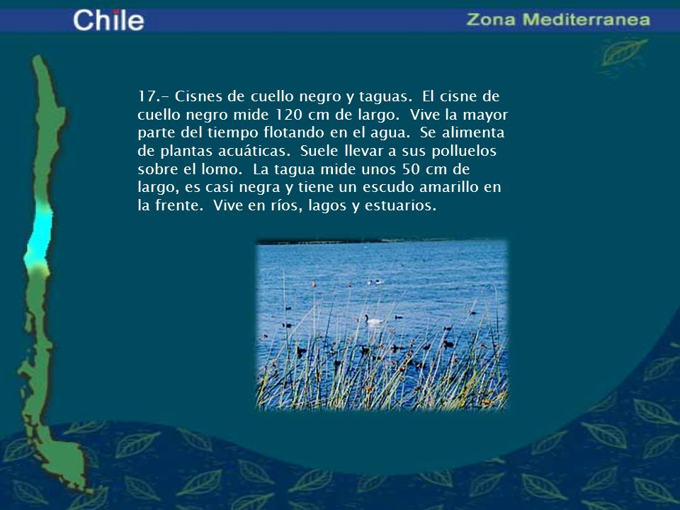 17. - Cisnes de cuello negro y taguas