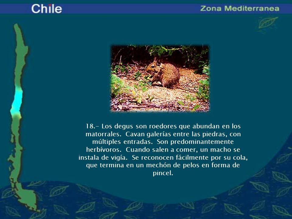 18. - Los degus son roedores que abundan en los matorrales