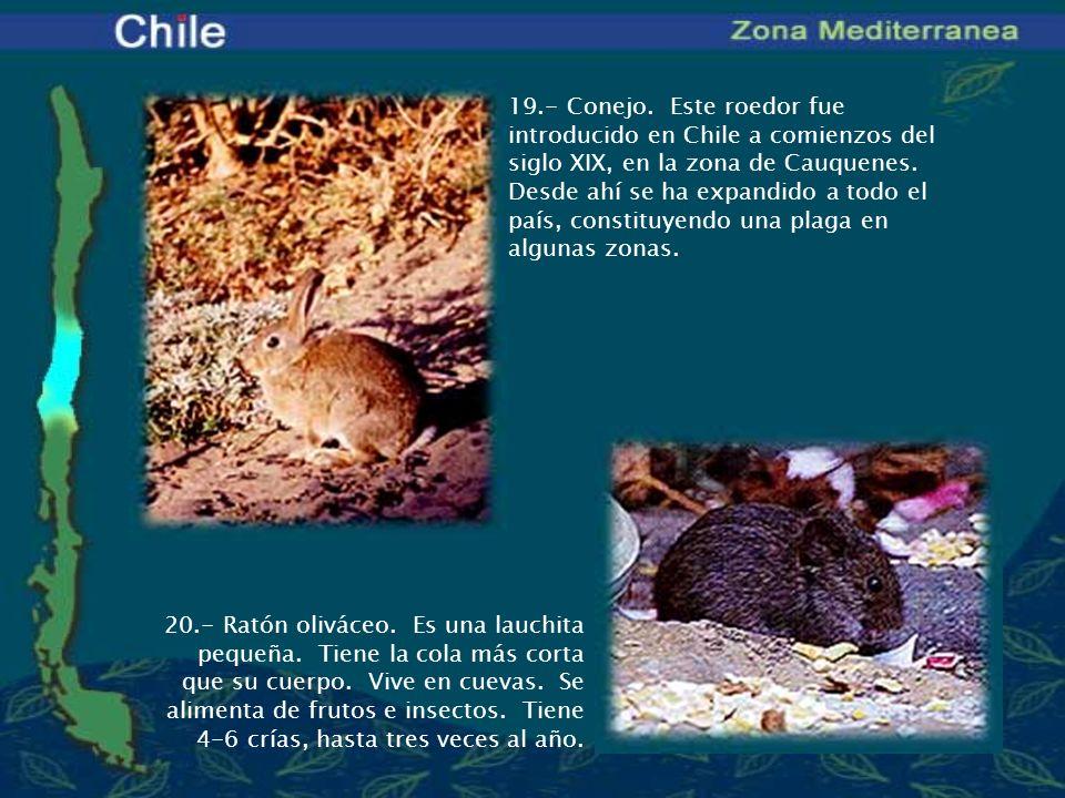 19.- Conejo. Este roedor fue introducido en Chile a comienzos del siglo XIX, en la zona de Cauquenes. Desde ahí se ha expandido a todo el país, constituyendo una plaga en algunas zonas.