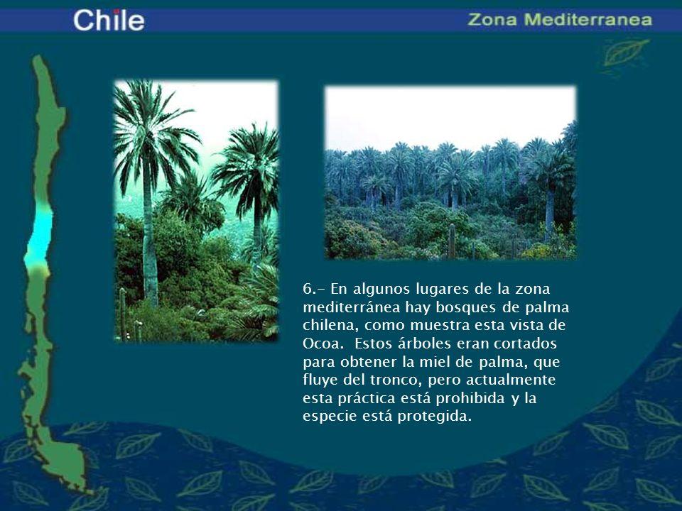 6.- En algunos lugares de la zona mediterránea hay bosques de palma chilena, como muestra esta vista de Ocoa.