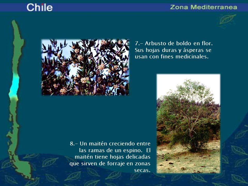 7. - Arbusto de boldo en flor