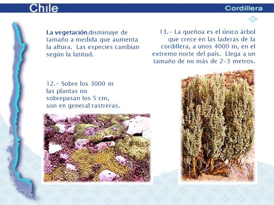 La vegetación disminuye de tamaño a medida que aumenta la altura. Las especies cambian según la latitud.