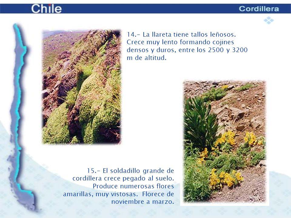 14.- La llareta tiene tallos leñosos. Crece muy lento formando cojines densos y duros, entre los 2500 y 3200 m de altitud.