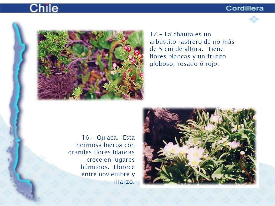 17. - La chaura es un arbustito rastrero de no más de 5 cm de altura