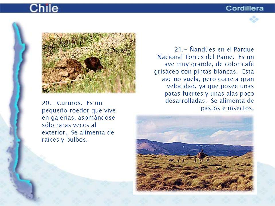 21. - Ñandúes en el Parque Nacional Torres del Paine